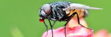 chasser les moucherons dans la cuisine astuces naturelles pour chasser les mouches