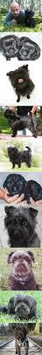 yarrow affenpinscher 85 best miniature pinscher images on pinterest miniature