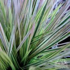 ornamental grass for shade northern lights hair grass