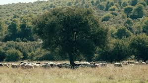 Seeking Free Series 4k Free Range Farming Flock Of Sheep Grazing In The