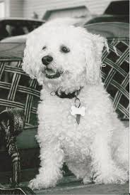 bichon frise virginia 150 best dogs images on pinterest bichons animals and bichon frise