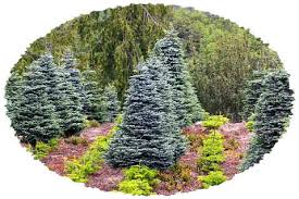 noble fir fresh trees