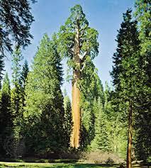 tree plant britannica