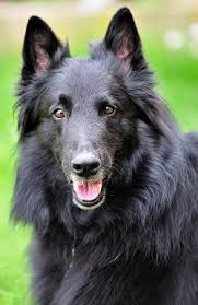 belgian shepherd wolf mix belgian shepherds what u0027s good about u0027em what u0027s bad about u0027em