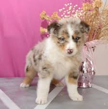 australian shepherd jack russell mix miya australian shepherd puppy for sale in fresno oh