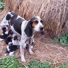 videos of bluetick coonhounds what is a bluetick beagle river styx scent hounds ckc ukc