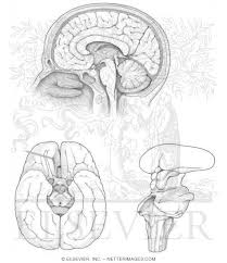 netter anatomy coloring book netters coloring book coloring jpg