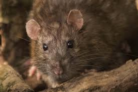 keep rats mice and squirrels out of your car how to prevent