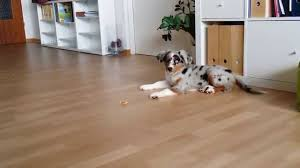 5 month old mini australian shepherd mini aussie blue merle 11 weeks old super cute dog puppy youtube