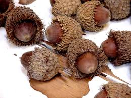 acorn vase filler large acorns with caps bur oak tree fringed hats autumn woodland
