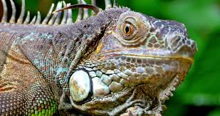 close up view of iguana lizard terrarium in dominical costa rica