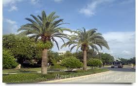 sylvester date palm tree sylvester palm naples