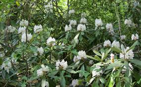 nc native plants using georgia native plants great laurel rhododendron maximum
