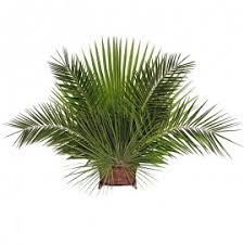 palms for palm sunday purchase palms for palm sunday palm strips