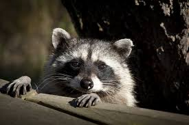 diseases that raccoons can spread to humans livestrong com