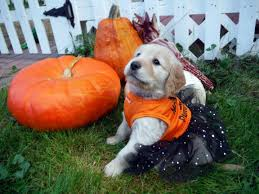 three puppies pose in halloween costumes plein air in maine