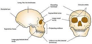 Floor Of The Cranium Neanderthal Wikipedia