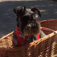 my curli curli dog harness air mesh petsonline