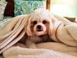teddybear dog puppy zuchon bichon shihtzu teddy bear zuchon
