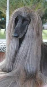 afghan hound good and bad good morning happyday amazing pets pinterest good morning