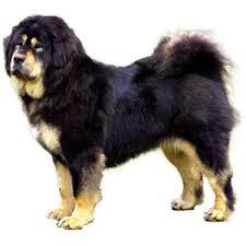 american eskimo dog vs pomeranian comparison of tibetan mastiff dog vs pomeranian dog findvs com