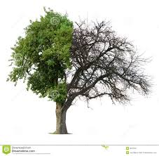 half green half bare tree stock image image 8678781