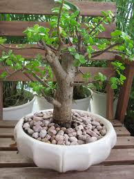 pot bonsai design elephant bush bonsai gardens and landscapings decoration