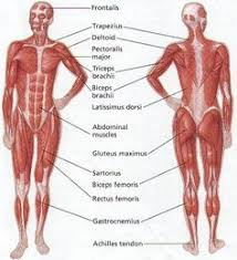 Anatomy Of Human Body Organs The Human Muscular System Muscular System Pinterest Human