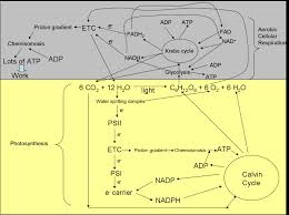 Photosynthesis And Cellular Respiration Worksheet Photosynthesis And Cellular Respiration