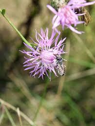 invasive non native plants non native bees and invasive plant species part 2 bee