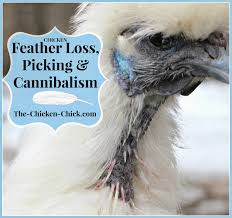 Can I Have Chickens In My Backyard by The Chicken Chicken Feather Loss U0026 Cannibalism Causes