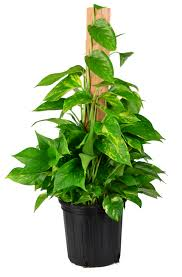 interior design simple interior potted plant with golden pothos