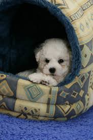 bichon frise cute dog cute bichon frise puppy on grey background photo wp11720