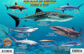 Shark Map Of The World by Franko Maps Gulf Of Mexico Sharks U0026 Rays
