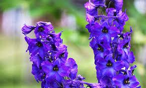 delphinium flowers grower direct flower varieties delphinium