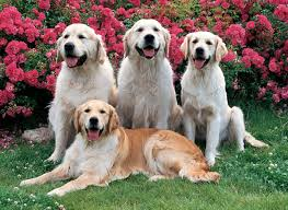 dog familly roses golden retrievers flowers free dog wallpapers