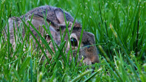 why do rabbits dig holes in lawns and gardens reference com