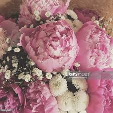 peonies flower peony stock photos and pictures getty images