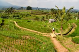 file rice fields at jatiluwih bali indonesia jpg wikimedia commons