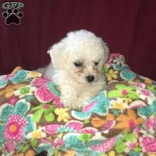 bichon frise nashville bichon frise puppies for sale greenfield puppies