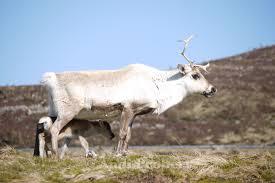 may 2015 u2013 cairngorm reindeer