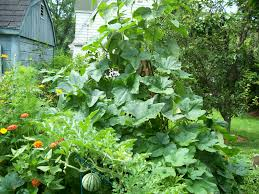 sweet dumpling squash overwhelming a trellis in my garden being