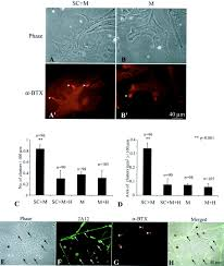 schwann cells express active agrin and enhance aggregation of
