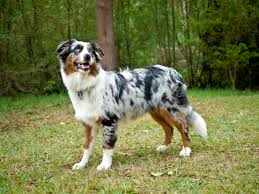 australian shepherd jump height lumen life ilumenated