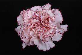 carnation color mariposa flores la union carnations wholesale