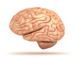 Anatomy And Physiology Ear Human Brain Facts Functions U0026 Anatomy