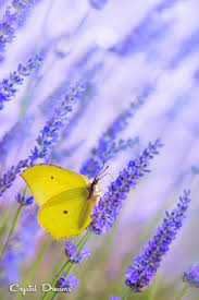 41 best graphium butterflies images on pinterest beautiful