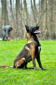 belgian shepherd or malinois belgian shepherd malinois waiting for the next command belgian