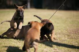 belgian shepherd rescue south africa german shepherd puppies