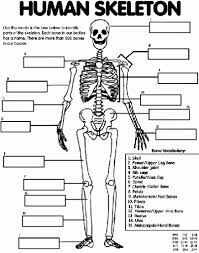 human skeletal system worksheet coloring page free printable with